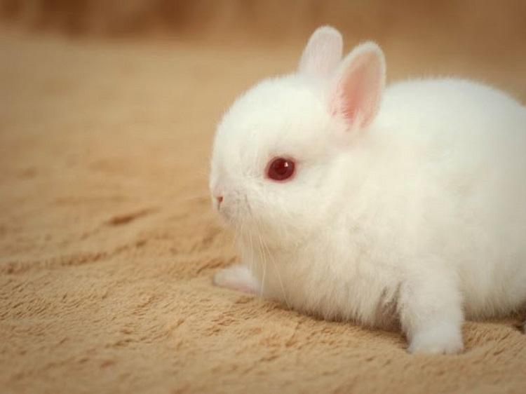 Đảo thỏ Alice - shop bán thỏ kiểng ở TPHCM