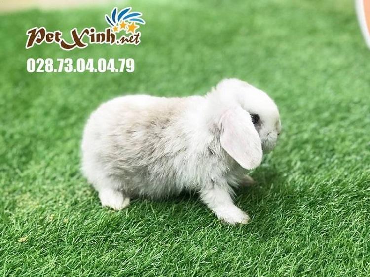 PetXinh.net - Nhím kiểng, Hamster, Thỏ kiểng, Sóc