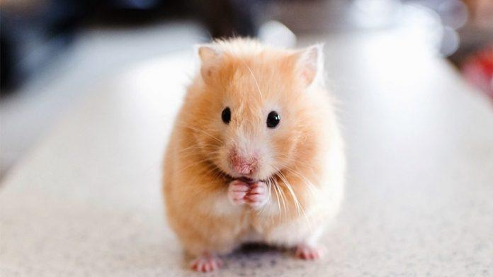 Shop chuột hamster tphcm