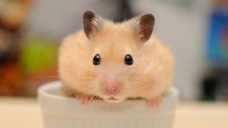 Hamster – Cocapet là shop hamster tphcm