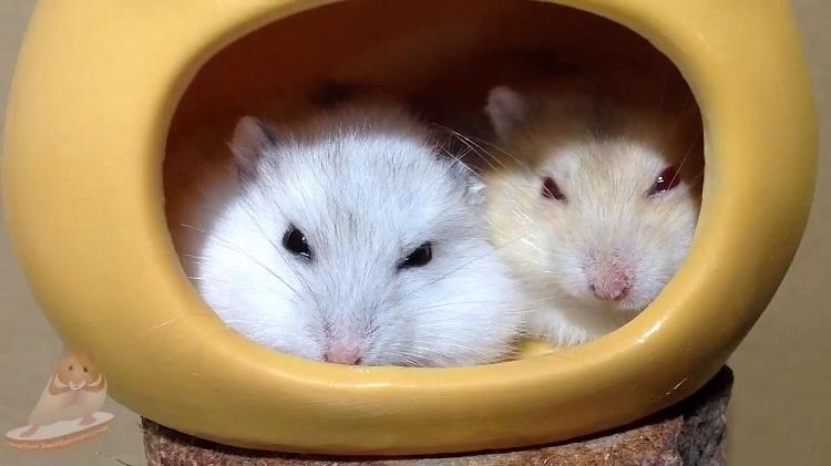 Hamster KingDom – Vương Quốc Chuột Hamster