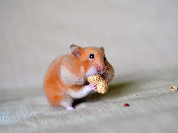 Mickey's Hamster store - shop hamster tphcm