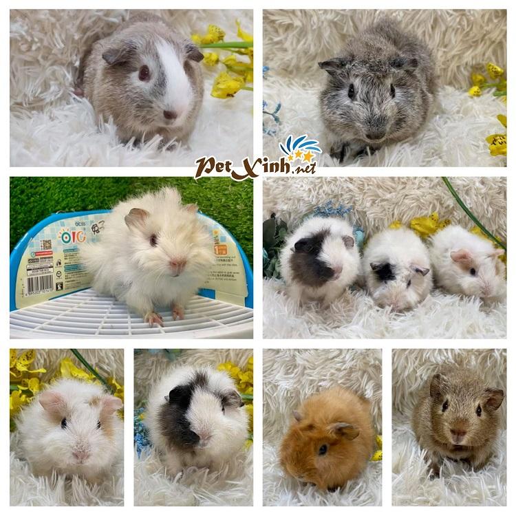 PetXinh.net là nơi bán chuột hamster ở tphcm