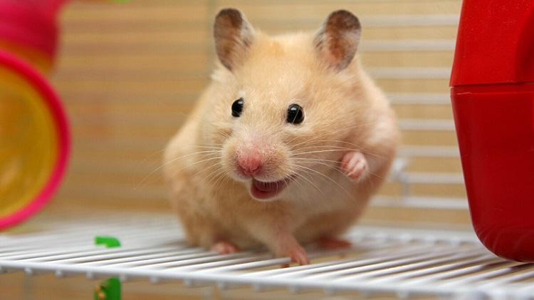 Cindy Shop – King Pet Shop là shop chuột hamster tphcm