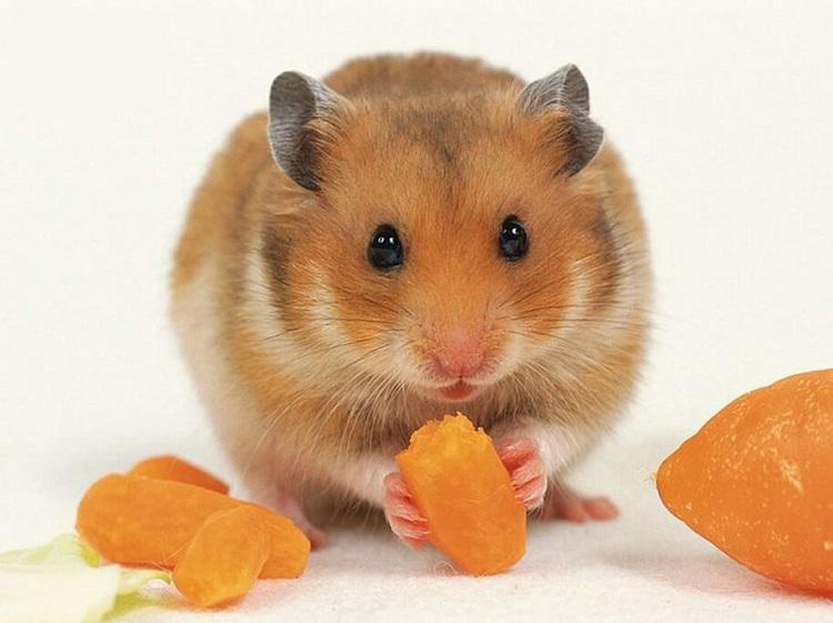 Nhà Vật Nuôi là shop bán hamster ở TPHCM